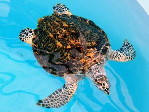 hawksbill-turtle_img01-l